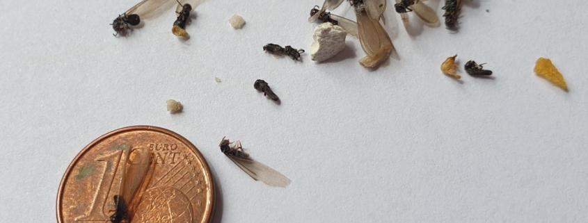 cómo diferenciar termitas subterráneas